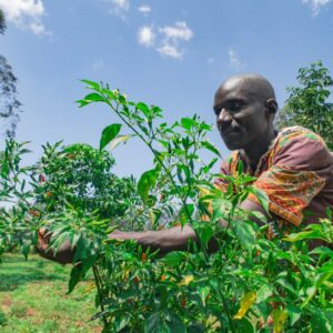 Good Returns Make Farmer Quit Sukumawiki Farming For Chillies