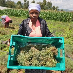 Thyme: Easy to Grow Herb with a Big Market
