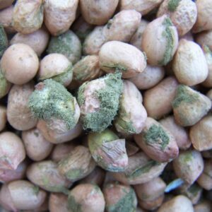 MARKUP Spearheads Research on Aflatoxin Contamination