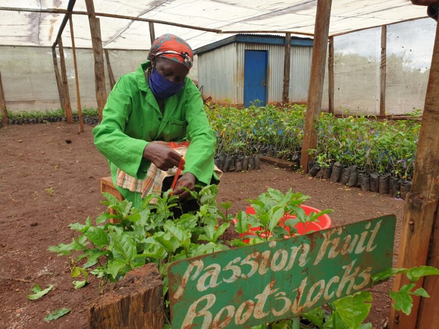 Passion Fruits: Clean Planting Materials for Better Yields, Increased Income